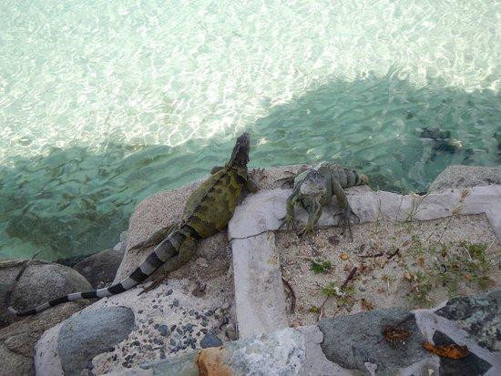 Community iguanas we saw most everyday!