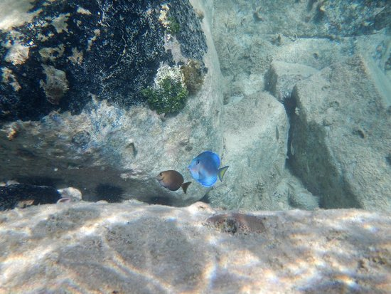 Grand Case Beach Club: Beautiful fish we saw snorkeling at the hotel