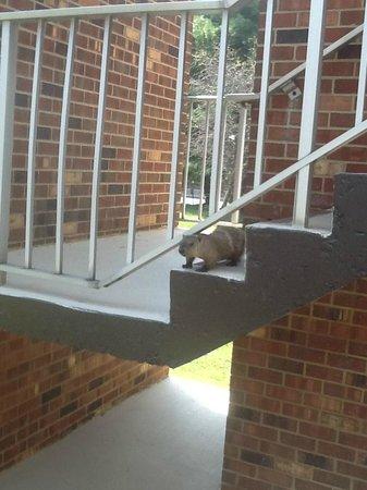 Days Inn Frederick: Groundhog on steps