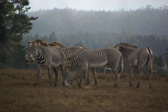 B Bryan Preserve: Zebra herd