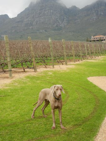 Uva Mira Mountain Vineyards: winery dog