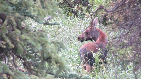 Brooks Lake Lodge and Spa: Moose Calf