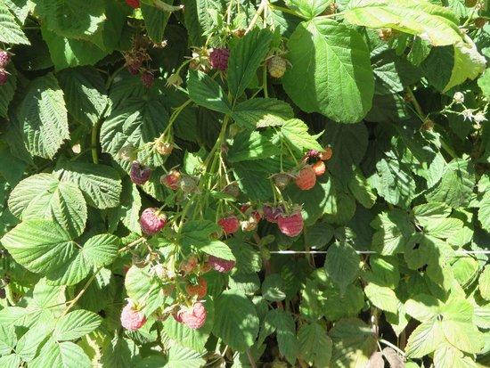 Riley's Farm: Rassberrys