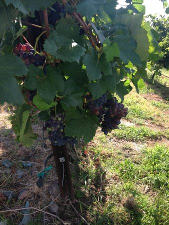 Cave B Estate Winery: Sweet Grapes