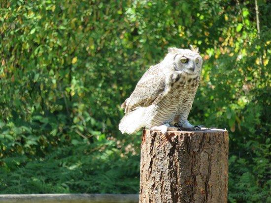 The Raptors : baby owl