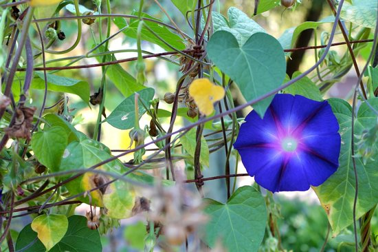 Madrona Manor Wine Country Inn and Restaurant : Morning glories