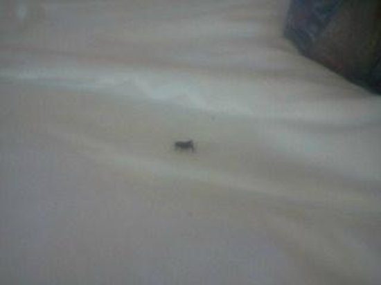 Red Lion Inn & Suites Walla Walla: Live black cricket on our bed