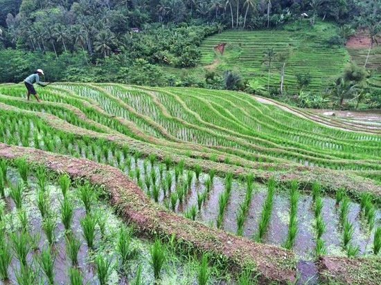 Bali Mountain Retreat : Rice field trek