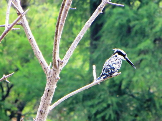 Austin Roberts Bird Sanctuary: Pied Kingfisher