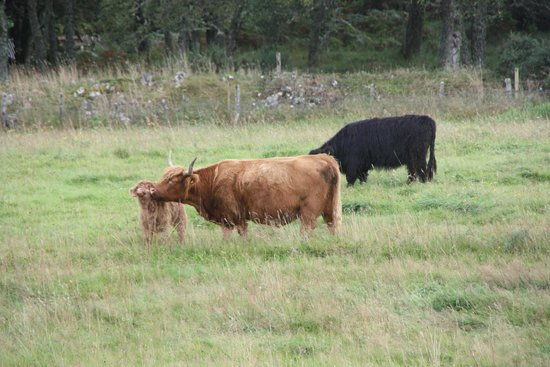 Big Sky Lodges: The view from our lodge : a family of hairy cows