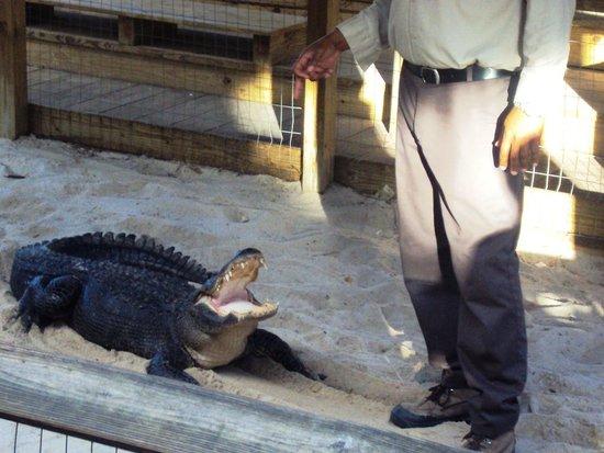 Gator Park: Alligator show