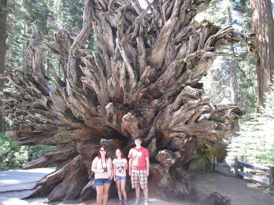 Mariposa Grove of Giant Sequoias: A fallen giant near the parking area