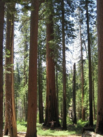 Mariposa Grove of Giant Sequoias: Look closely, my daughter is standing at the base