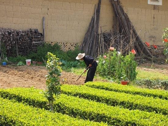 Ta'xia Village : 塔下村の茶畑