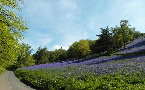 Malvern Hills: Jubilee Drive in Spring, Bluebells galore!