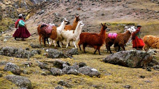 La Paz on Foot: Llama train, Cordillera Real