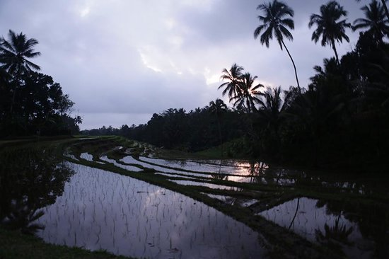 Bali Eco Stay Rice Water Bungalows: paddy field in the evening