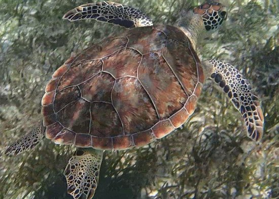 Sandals Royal Bahamian Spa Resort & Offshore Island: Turtle at Cay