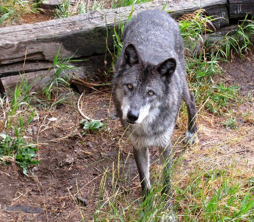 Howlers Inn Bed & Breakfast and Wolf Sanctuary : Another Wolf Picture