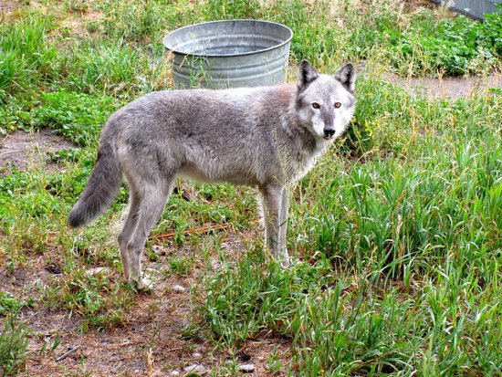 Howlers Inn Bed & Breakfast and Wolf Sanctuary : One of the wolves