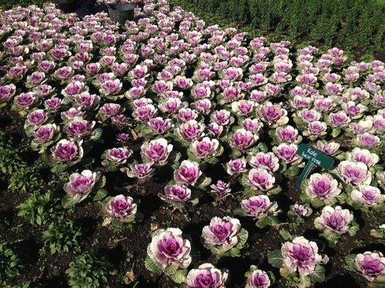 Taman Pollard: Cauliflowers