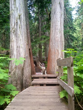 Giant Cedars Boardwalk Trail: Giant cedars dog friendly boardwalk