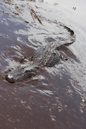 Buffalo Tiger's Airboat Tours : Mommy Alligator