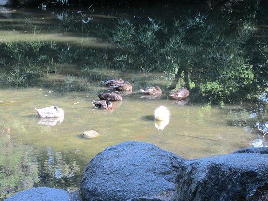 Lithia Park: waterfowl