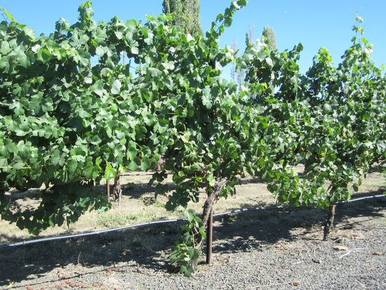 Paschal Winery: vines