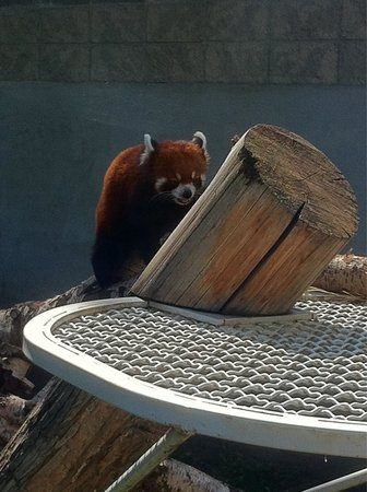 Visit the Zoo: Red panda is super cool!!