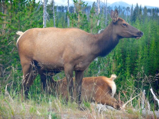 Baby Elk Nursing In Yellowstone Picture Of Yellowstone