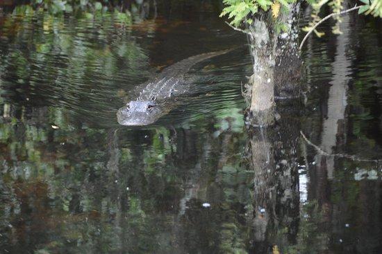 Loop Road: Alligatore