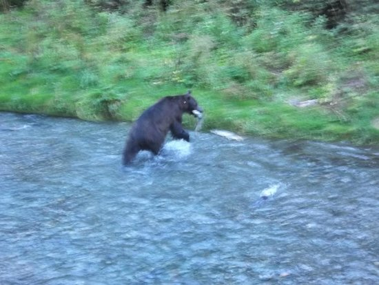 Salmon Glacier: Bear munching on Salmon from Fish Creek platform