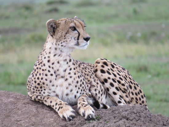 Governors' Il Moran Camp: Cheetah on our first drive