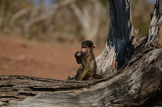 Pangolin Photo Safaris - Day Tours : We spent some time with the baby baboons.