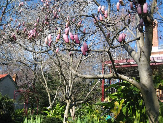 Finches of Beechworth: Finches Magnificent Magnolia Trees