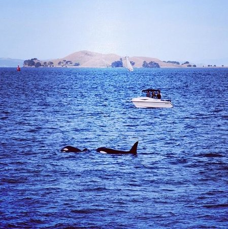 Auckland Whale & Dolphin Safari: Orcas spotted on the return to Auckland