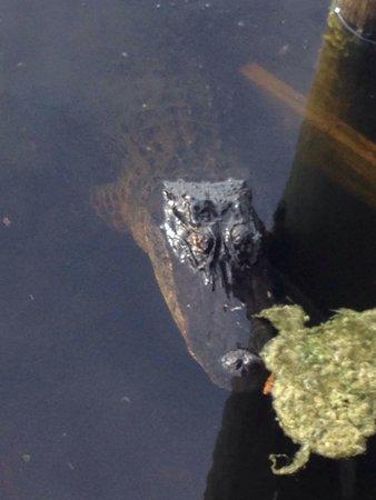 Six Mile Cypress Slough Preserve: Alligator