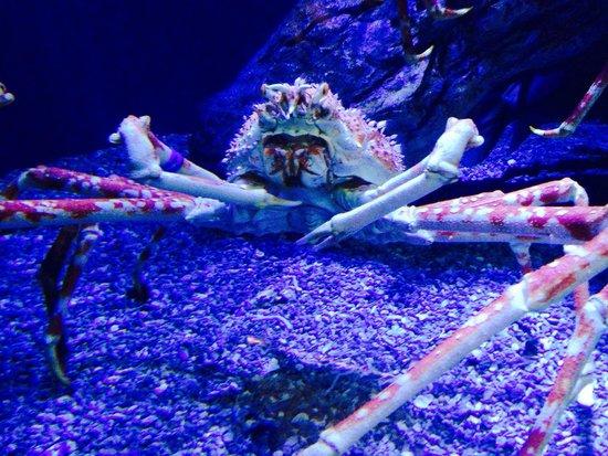 Aquarium of the Pacific : Mr Crab..
