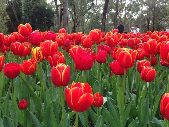 Western Australia, Australien: Bunga Tulip yang sedang mekar