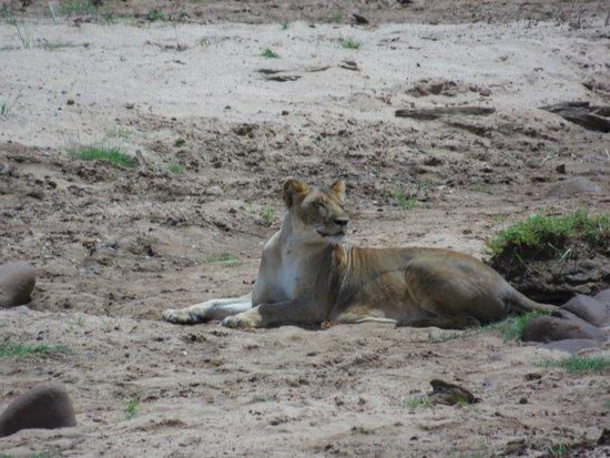 Bianco Nero Safari and Private Day Tours: leonessa