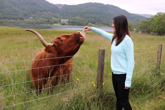 The Hairy Coo - Free Scottish Highlands Tour : Feeding the hairy coos :-)