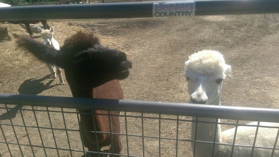 Royalsborough Inn at Bagley House: Alpaca heaven!