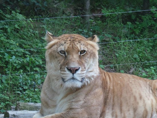 Yongin, South Korea: Лайгер. Гибрид тигра и льва (такое случается когда тигры и львы живут в одном ареале)