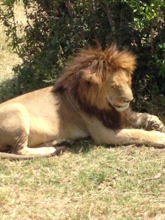 Sala's Camp: Lion