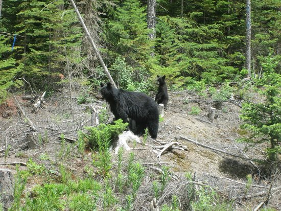 Golden, Canada: Not teddy bears at Marl Creek Park