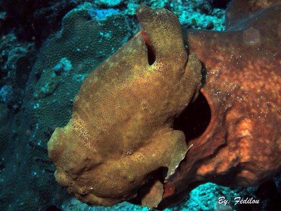 Cakalang Bunaken: Frogfish