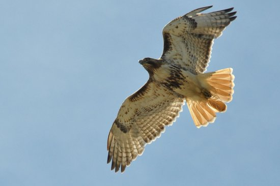 Red Tailed Hawk above thr museum