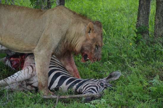 Lion Sands River Lodge: Big five no. 3: Lion has lunch time