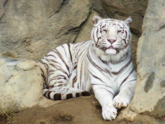 Cincinnati Zoo & Botanical Garden: White Tiger